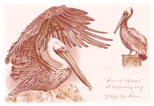 Pelicansketches by Michael Quinlyn-Nixon